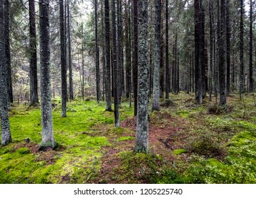 Mossy forest trees in autumn Karelia. Moss forest trees background in Karelia backwoods. Autumn larch forest trees landscape. Forest trees moss view