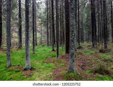 Mossy forest trees in Karelia woods. Karelia forest trees moss background. Wilderness moss forest trees view. Autumn larch forest treees in Karelia