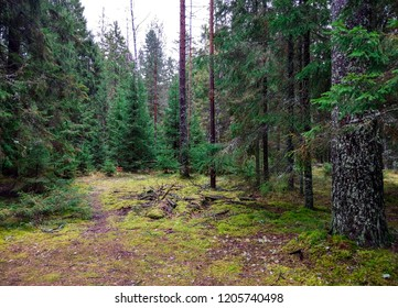 Mossy forest trees wilderness landscape. Autumn forest trees moss in wilderness Karelia backwoods. Forest moss trees background. Larch tree forest moss view