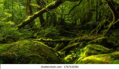 Mossy forest in Yakushima Island, Kagoshima prefecture, Japan