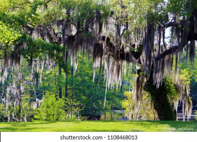 Mossy Oak Tree - Slidell, Louisiana north of New Orleans and Lake Pontchartrain on Bayou Liberty - Swamp Scene