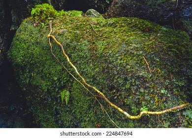 Mossy rock in Yakushima, Japan