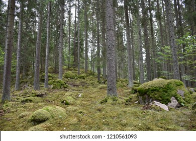 Mossy and rocky growing spruce forest
