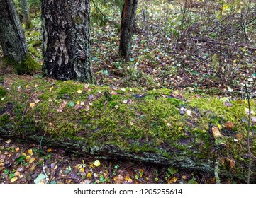 Mossy tree trunk in autumn forest scene. Moss tree in autumn forest. Autumn tree moss view. Autumn forest tree moss scene