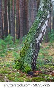 mossy trunk of birch tree