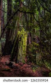 Mossy views of Muir woods