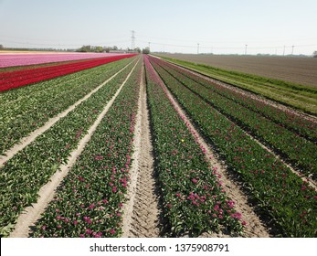 The most amazing flowerfields of the world make holland one of the most beautiful places during spring