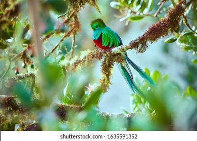 The most beautiful bird of Central America. Resplendent quetzal (Pharomachrus mocinno) Sitting ma branches covered with moss. Beautiful green quetzal with red belly.