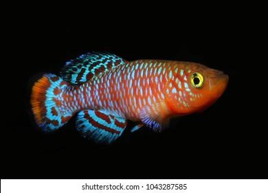 most beautiful freshwater fish, african killifish (Nothobranchius rachovii) Bluefin Nothobranch