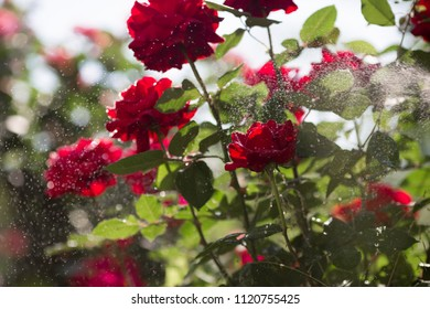 The most beautiful, large red roses in the morning dew and with sunlight reflections. Moscow, June 2018.