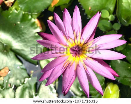 Most Beautiful Lotus Stock Photo Edit Now 1071716315 Shutterstock