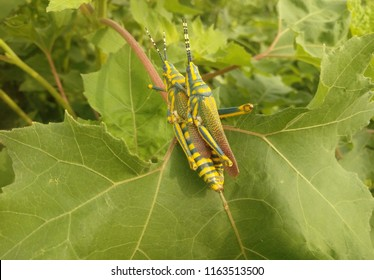 It's the most beautiful picture of nature where lovers( grasshoppers) are having intercourse.