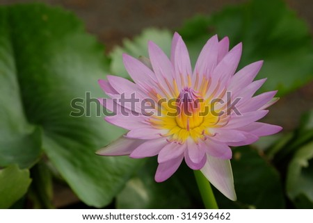 Most Beautiful Pink Lotus Stock Photo Edit Now 314936462