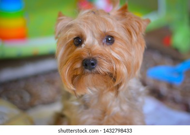 The most beautiful red dog Yorkshire Terrier Archie