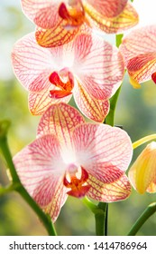 Most commonly grown house plants. Orchids gorgeous blossom close up. Orchid flower pink and yellow bloom. Phalaenopsis orchid. Botany concept. Orchid growing tips. How take care orchid plants indoors.