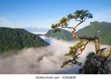 The most famous tree in Pieniny Mountains, Poland