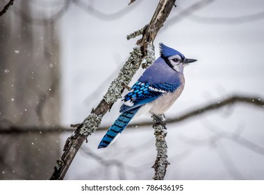 The Most Perfect Blue Jay Picture
