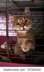 The most sad cat behind bars. Gray-brown, non-breeding cat in a cage. Animals at the shelter is sad and waiting for her man. A domestic pet looks hopefully into the lens.