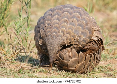 Most smuggled animal in the world, the pangolin.