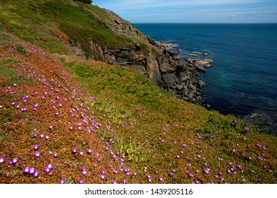 The most southerly point in Britain - the rugged coastline strewn with wild flowers at Lizard Point in Cornwall, England.