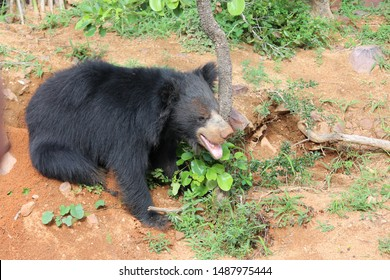 The most unkept looking bear out of three species found in India is the Sloth Bear. It can be recognized by its long muzzle protruding lip and heavy shaggy hair. It has a V patch on its breast.