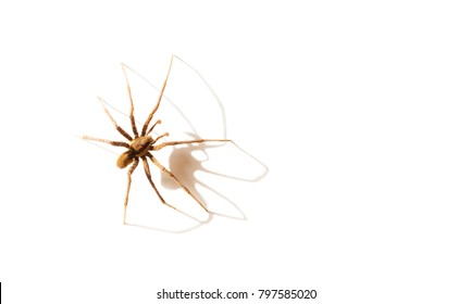 The most venomous spider in the world, The Brazilian Wandering Spider(Phoneutria spp) and its shadow  isolated on white background.