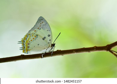 most wanted beautiful white butterfly with orange diamond spots perching tree branch over fine  blur green background, Jewelled Nawab (Polyura delphis)