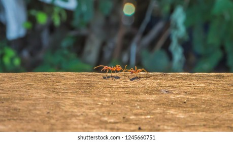 MOT has a scientific name Oecophylla smaragdina F. an ant species that no large steel segment in the first waist slender body. Most are red - orange. Together with members