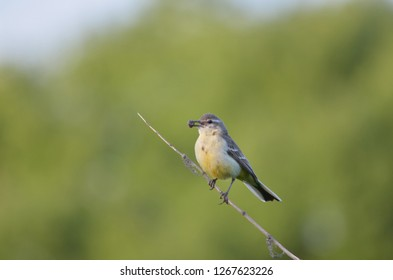 Motacilla flava. Female subspecies. Yellow wagtail with insects in the beak. Fauna of Ukraine.