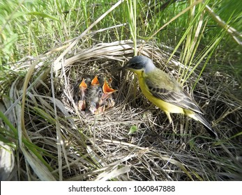 Motacilla flava. The nest of the Yellow Wagtail in nature. Russia, the Ryazan region (Ryazanskaya oblast), the Pronsky District.