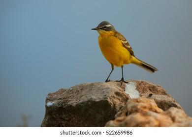 Motacilla flava, Western Yellow Wagtail, male standing on rock against blue sky. Hungary, Hortobagyi Nemzeti Park.