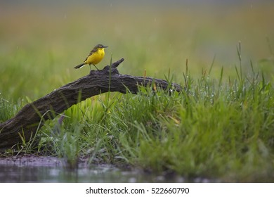 Motacilla flava, Western Yellow Wagtail, male perched on old root against green meadow. Typical environment. Spring, Hungary, Hortobagyi Nemzeti Park.