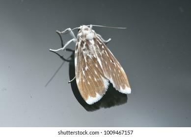 Moth of borneo