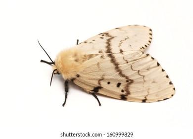 Moth, Brudnice (Lymantria dispar), female