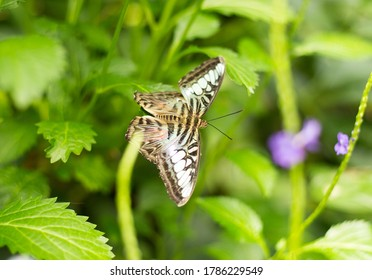 Moth, Butterfly, brown wings, white stripes, white spots resting on a green leaf