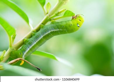 Moth caterpillar - macro