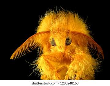 Moth, Euproctis sp. (Lepidoptera: Lymantriidae), Tussock moth, isolated on a black background