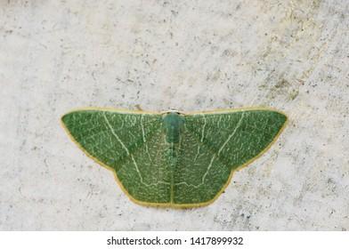moth green longan looper(Orothalassoder Faisaria) on concrete wall