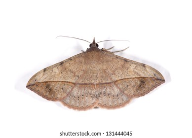 A moth isolated over white