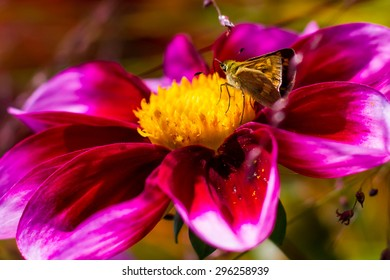 A moth lands to collect pollen from a flower in Seattle