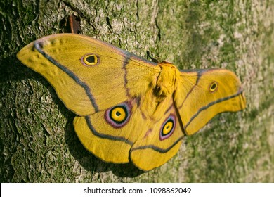 Moth - Nudaurelia krucki, large beautiful yellow moth from East Africa forests.