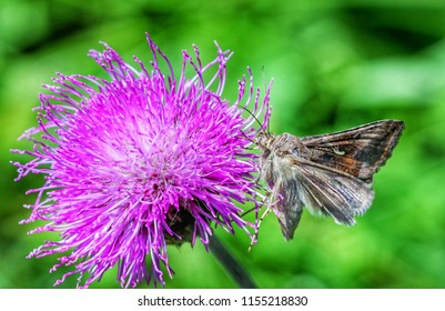 Moth on thistle flower
