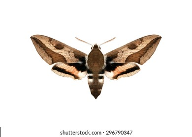 Moth on white background
