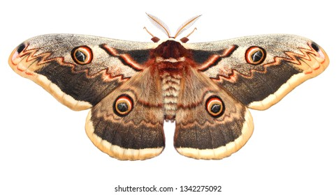 Moth, Saturnia pyri, the Giant Peacock moth, Great Peacock moth, Giant Emperor moth or Viennese emperor (Lepidoptera: Saturniidae). Isolated on a white background