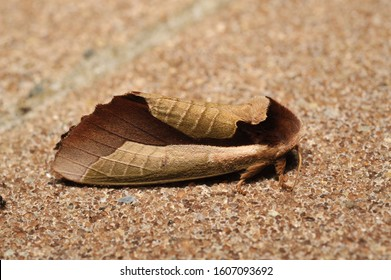 The moth which seems to be a dead leaf.