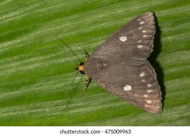 Moth/Butterfly with a green background Calesia Stillifera Felder 1874.
