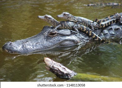 mother alligator with babies riding on her head in water
