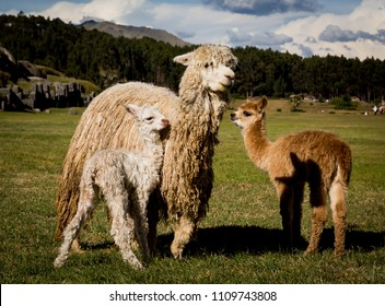 Mother alpaca of Peru with her two crias, baby alpacas