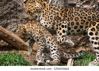 Mother Amur Leopard carrying its young