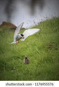 mother arctic tern with food for her offspring